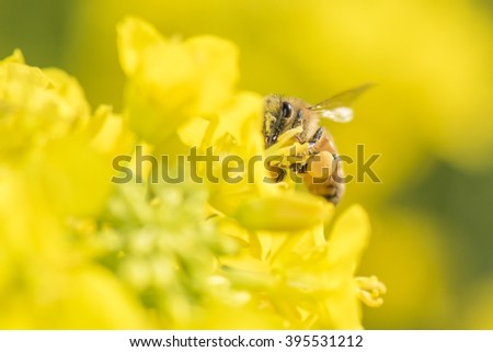 Honey Bee collecting pollen on yellow rape flower. - stock photo