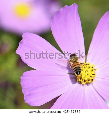 Honey bee feeds on pink cosmos flower - stock photo