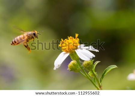 Honey Bee flying to the flower and collect the nectar - stock photo