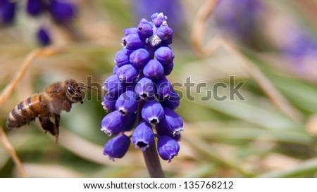 Honey Bee Hovering Next to Small Purple Flower Pods - stock photo