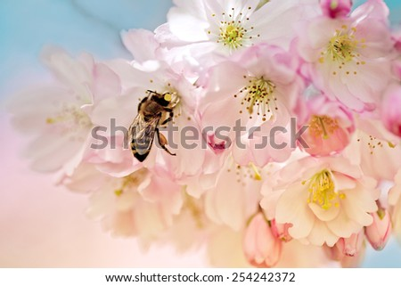 Honey Bee in Cherry Tree Flowers in Spring - stock photo