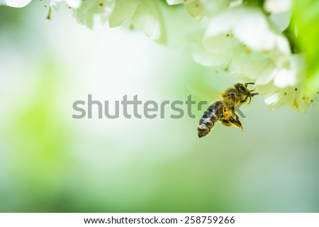 Honey bee in flight approaching blossoming cherry tree - stock photo