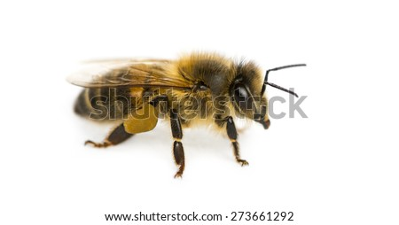 Honey bee in front of a white background - stock photo