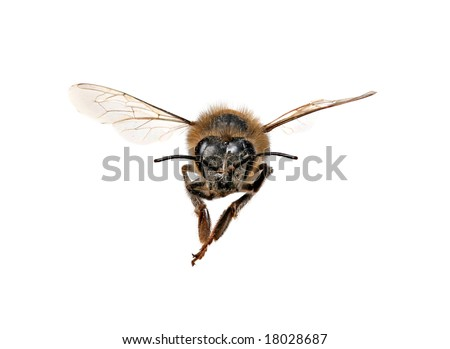 Honey Bee Looking Right At You With Extreme Detail on White Background - stock photo