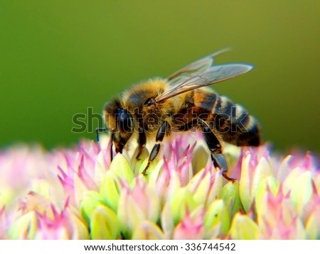 honey bee macro; shallow depth of field