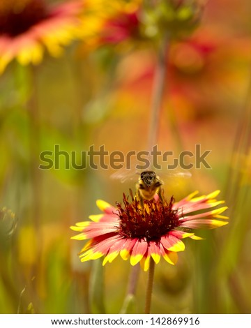 Honey bee on a firewheel wildflower with its wings buzzing. - stock photo