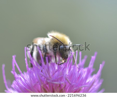Honey Bee on a flower, Close Up Macro  - stock photo