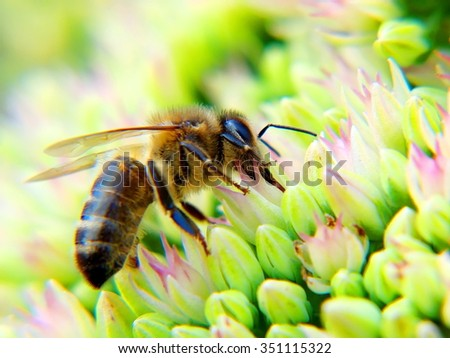 honey bee on a flower macro