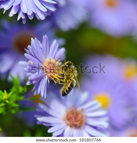 Honey bee on blue aster - stock photo
