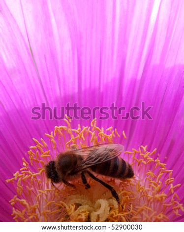Honey Bee on Hottentot Fig - stock photo