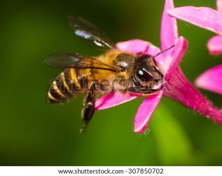 Honey Bee on Pink Flower, Close Up Macro  - stock photo