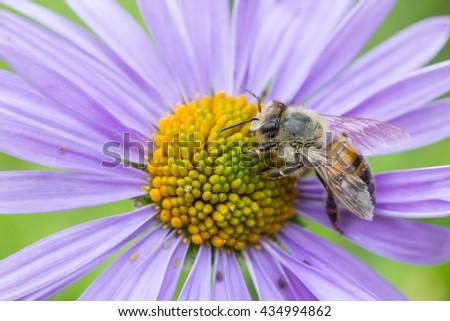 Honey Bee On Violet Flower Closeup Macro - stock photo