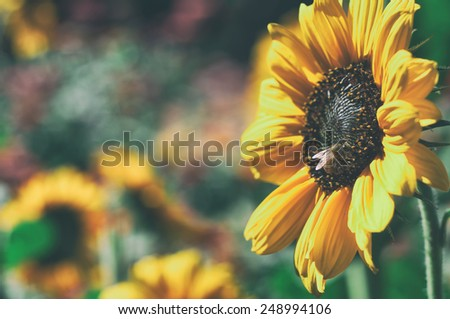 Honey Bee on Yellow Sunflower on Sunny Day with Flower Garden Background.  Room or space for copy, text, your words.  Horizontal trendy instagram, retro camera filter treatment with blur bokeh. - stock photo