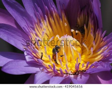 honey bee pollinating lotus flower close up - stock photo