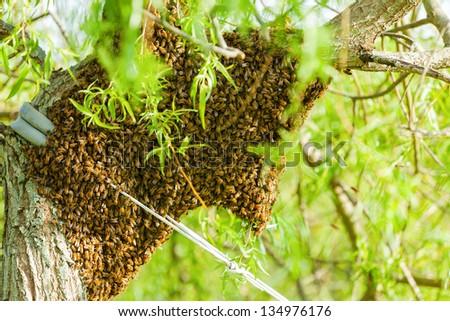 Honey bee swarm - stock photo