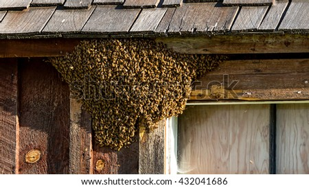 Honey Bee swarm and nest attached to a cabin - up close