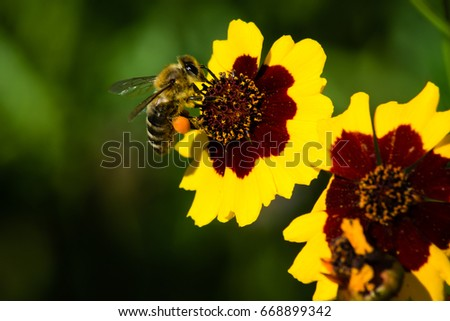 Honey bee with pollen foraging on yellow and red flower