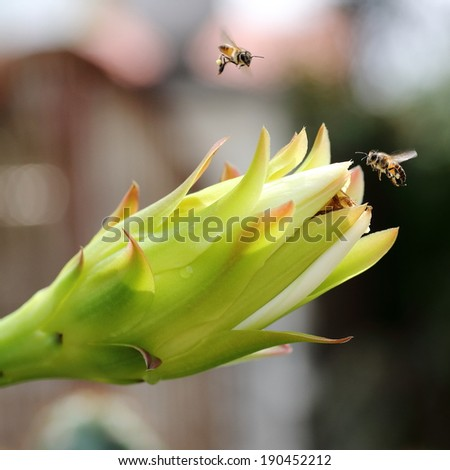 Honey Bees Flying Around Cactus Flower Bud - stock photo
