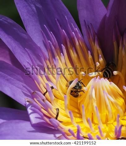 honey bees foraging on blooming purple lotus flower - stock photo