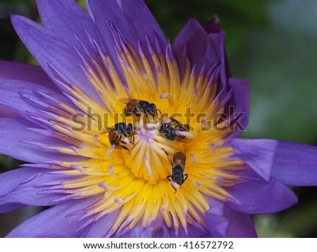 honey bees foraging on purple lotus - stock photo