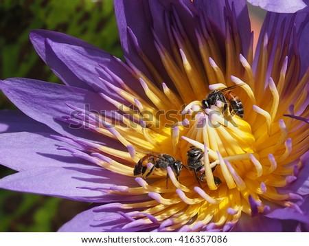 honey bees foraging on purple lotus , close up - stock photo