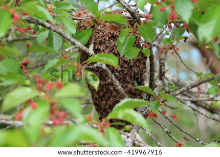 Honey bees hive swarm hanging over the tree - stock photo