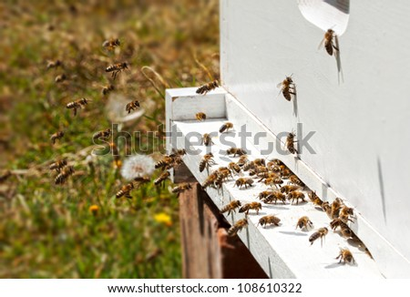 Honey bees infront of hive enterence - stock photo