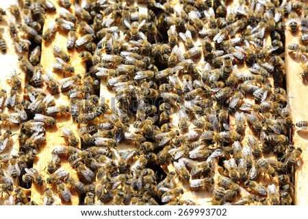 honey bees on a box with frames in bee hive - stock photo