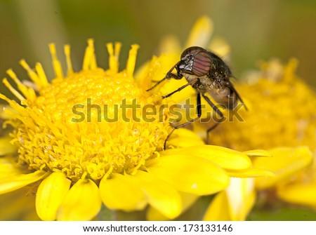 Honey bees on a daisy - stock photo