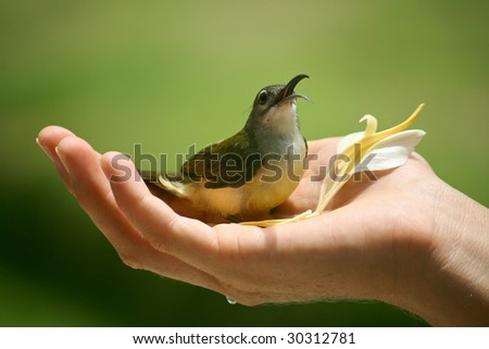 Honey-eater Bird in cupped hand with flower - stock photo