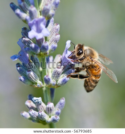 Honeybee collecting nectar - stock photo
