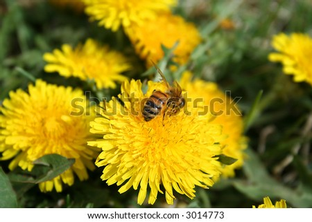 Honeybee collecting pollen from dandelion in early spring . Honey bee is  flying insect ,a subset of the bee family.