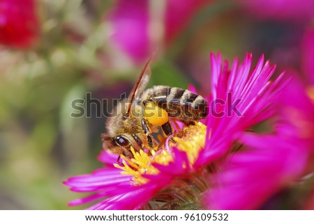Honeybee collecting pollen on a purple aster flower
