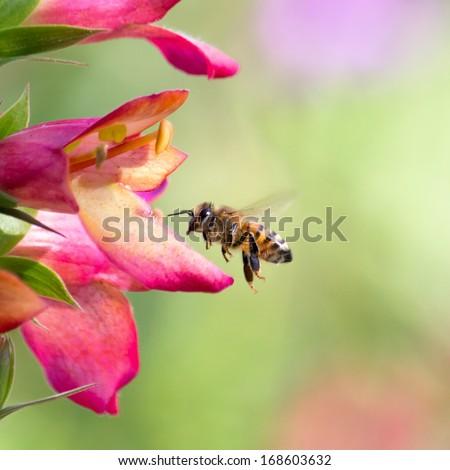 Honeybee flying to Foxglove Flower. - stock photo