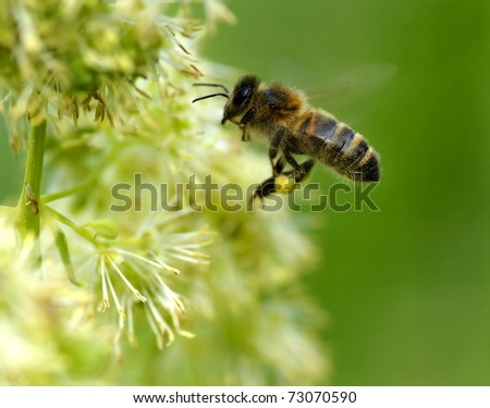 honeybee in springtime collecting honey out of flowers - stock photo