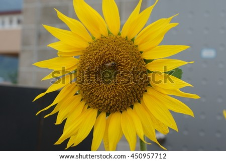 honeybee in Sunflower / coexistence with nature