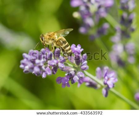 Honeybee on lavender flower macro closeup - stock photo