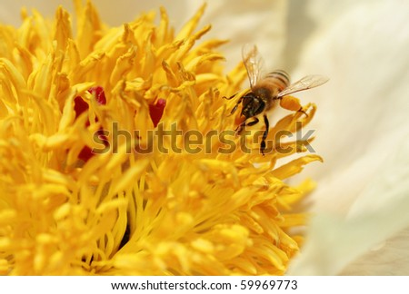 Honeybee on peony - stock photo