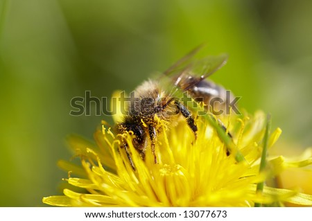 honeybee on the dandelion with antheral dust