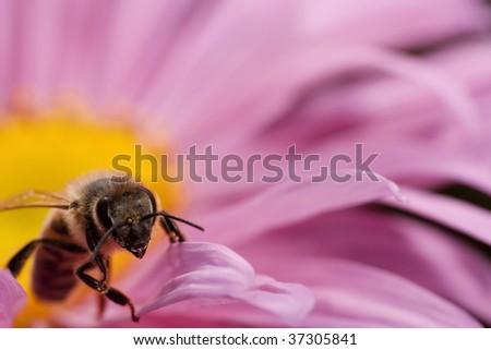 Honeybee on the pink flower - stock photo