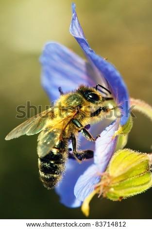 honeybee pollinated of blue flower - stock photo