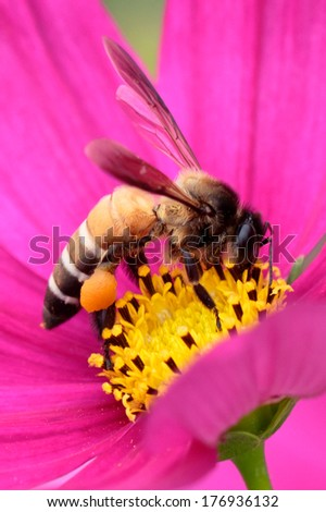 Honeybee pollinated of pink flower