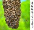 Honeybee Swarm (Apis mellifera). The bottom section of a honeybee swarm. - stock photo