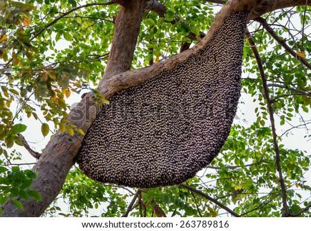 Honeybee swarm hanging. - stock photo