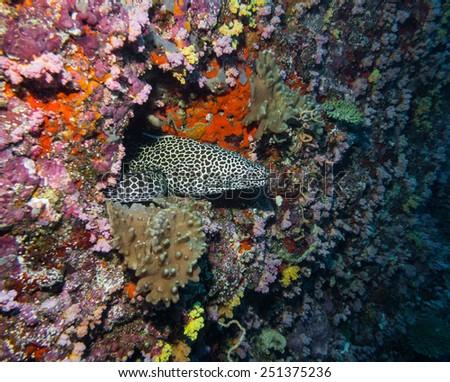 Honeycomb Eel 3 - stock photo