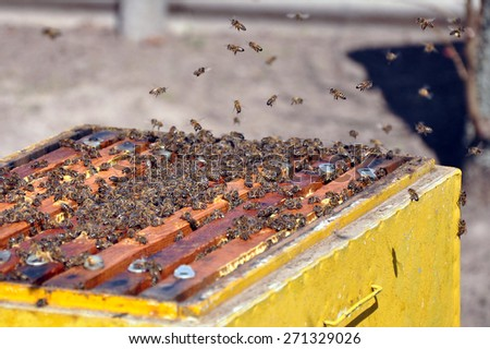 Honeycomb with bees and honey. Working bee on honeycomb. Work bees in hive. - stock photo