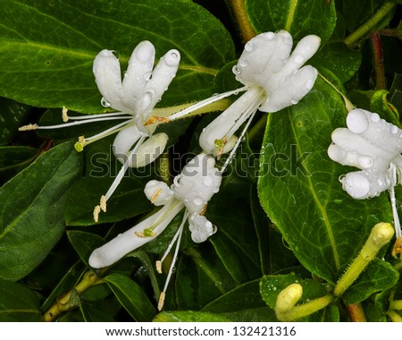 Honeysuckle blossoms (lonicera albiflora), California - stock photo