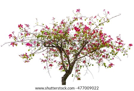 Hong Kong orchid tree Bauhinia blakeana isolated on white background.
