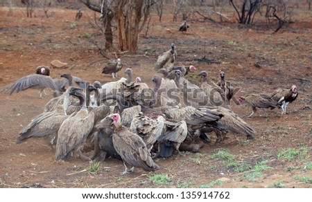 Hooded and White-Backed Vultures at a Wildebeest kill in the Kruger National Park, South Africa. - stock photo