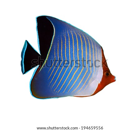 Hooded butterflyfish (Chaetodon larvatus) isolated on white background. - stock photo
